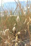 Egeïsch - witte bloem bij het strand stock foto's