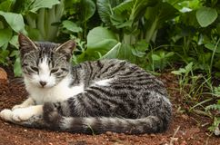 Egeïsche Cat At Pak Choi stock afbeelding