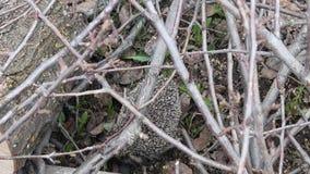 Egel in bosegel bij park stock footage