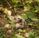 Egel in een bosgras weinig Stock Afbeelding