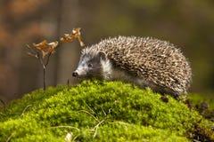 Egel in het bos Royalty-vrije Stock Afbeeldingen