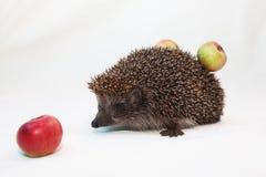 Egel met appelen royalty-vrije stock afbeeldingen