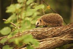 Egel op een boomtak weinig Royalty-vrije Stock Foto