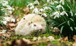 Egel, wilde, inheemse albinoegel in sneeuwklokjes Royalty-vrije Stock Foto's