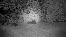 Egels in en tuin die vechten duwen stock videobeelden