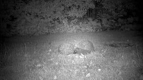 Egels in tuin die agressie tonen stock footage