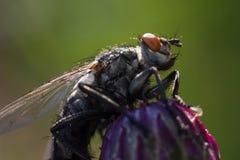 Egelvlieg op de bloem stock foto's