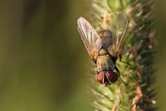 Egelvlieg op het gras stock fotografie