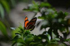 Egentligen elegant ek Tiger Butterfly i natur Royaltyfri Fotografi