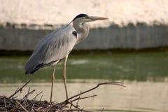 Egert en zijn nest Stock Foto's
