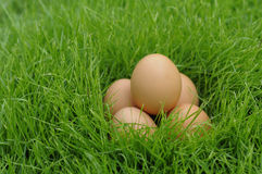 Egg. The Eggs in the grass Stock Images