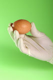 Egg. Hand in rubber glove holding an egg Royalty Free Stock Images