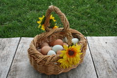 Egg baskets. Baskets full of wholesome nutritious free range organic green and brown eggs, right from the hen house farm fresh to you unedited image Royalty Free Stock Photo