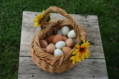Egg baskets. Baskets full of wholesome nutritious free range organic green and brown eggs, right from the hen house farm fresh to you Stock Photography
