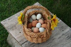 Egg baskets. Baskets full of wholesome nutritious free range organic green and brown eggs, right from the hen house farm fresh to you un edited image Stock Image