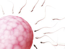 Egg cell and sperm. 3d rendered illustration of an egg cell and sperm Royalty Free Stock Photo