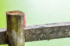 Egg Channeled applesnail. On wood pole royalty free stock image