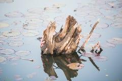 Egg Channeled applesnail in river Stock Image