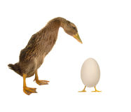 Egg and duck Royalty Free Stock Image