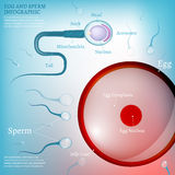 01 Egg Fertilization. The illustration of bio infographics with spermatozoon and ovum in transparent style. Scientific, anatomy and biology concept. Medical royalty free illustration