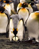 egg georgia penguin south Стоковые Фото