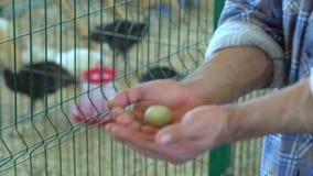 Egg in hand farmer man in poultry chicken farm turkey yard farm, hens in village farm hen eggs in man`s hands on. Egg in hand farmer man in poultry chicken farm stock footage