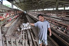 Egg Harvesting Stock Photography