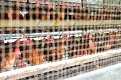 Egg i polli in pollame o in allevamento bestiame dietro il metallo n del cavo Fotografia Stock Libera da Diritti