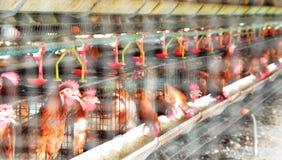 Egg i polli in pollame o in allevamento bestiame dietro il metallo n del cavo Immagini Stock