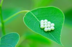 The egg of insect. On a leaf in the garden Stock Image