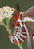 Egg laying cecropia moth Stock Photos