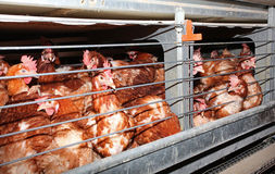 Free Egg Laying Chicken In Cage In Farm Stock Image - 20440131