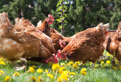 Egg-laying hens Stock Photos