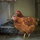 Egg laying hens at free range farm Stock Images