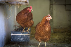 Egg laying hens at free range farm