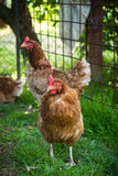 Egg-laying hens in the yard Stock Photo