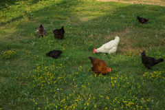 Egg-laying hens in the yard. Egg-laying hens walking in the green yard royalty free stock photos
