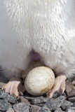 Egg-laying, Incubation Area Of ​​the Skin And Feet For Adelie Penguin Nest Stock Photo