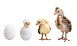 Egg. Little nestling chicks  and white egg  on white background, isolated Stock Photos