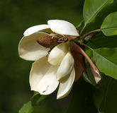 Egg magnolia, m. liliifera Stock Photo