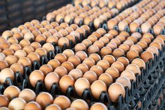 Free Egg Panels Arranged On A Chicken Farm Stock Photography - 155290442