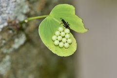 Egg parasitic wasp. Stock Images