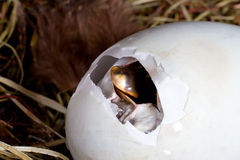 Egg pipping. Duckling just after it started pipping the first hole in his egg Stock Photography