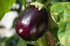 Egg plant Stock Photo