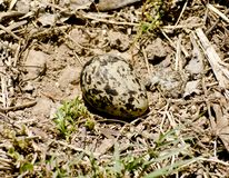 An egg of a red wattled lap wing Stock Image