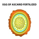 The egg of the roundworm is fertilized. Structure of Ascaris eggs. infographics. Vector illustration on isolated background. The egg of the roundworm is Stock Image