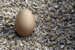 Egg on saw dust Royalty Free Stock Photography