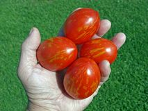 Egg shaped tomato Stock Image