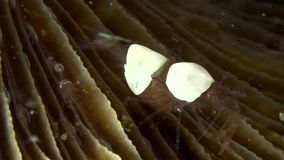 Egg shell shrimp Hamopontonia fungicola in the night Lembeh strait stock video