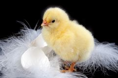 Egg-shells and chick. Eggs-shells, feathers and a young baby chick against a black background Royalty Free Stock Photo
